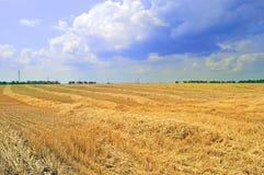 Campo durante il grano del raccolto Immagine Stock