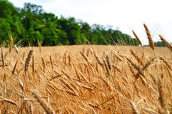 Campo e árvores de trigo no fundo Fotos de Stock