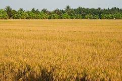 Campo e árvores do arroz Imagem de Stock