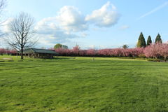 Árvore desencapada e árvores do campo verde completamente de flores cor-de-rosa Imagem de Stock