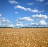 Campo e bly céu de trigo. Imagem de Stock Royalty Free