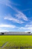 Campo e céu do arroz fotografia de stock royalty free