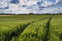 Campo e céu verdes do trigo Imagem de Stock Royalty Free