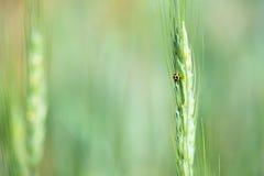 Campo e cevada de trigo Imagem de Stock Royalty Free