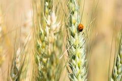 Campo e cevada de trigo Foto de Stock