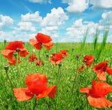 Campo e cielo blu Immagini Stock Libere da Diritti