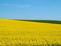 Campo e cielo blu di Canola Fotografie Stock