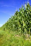 Campo e cielo blu di cereale Fotografia Stock