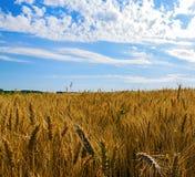 Campo e cielo blu di frumento Fotografia Stock Libera da Diritti