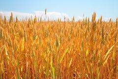 Campo e cielo blu di frumento Fotografie Stock Libere da Diritti