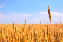 Campo e cielo blu di frumento Immagini Stock Libere da Diritti