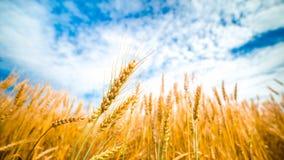 Campo e cielo blu di frumento Immagine Stock