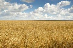 Campo e cielo blu di frumento con le nubi fotografie stock