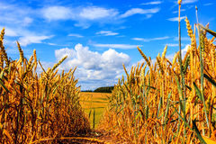 Campo e cielo blu di frumento con le nubi Fotografia Stock Libera da Diritti