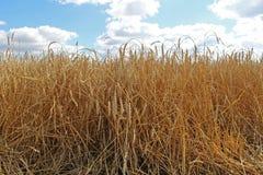 Campo e cielo blu di frumento dell'oro Immagine Stock