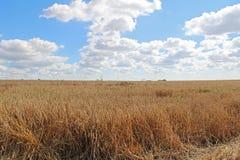 Campo e cielo blu di frumento dell'oro Fotografie Stock