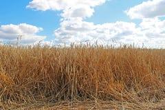 Campo e cielo blu di frumento dell'oro Fotografia Stock Libera da Diritti