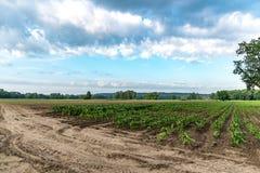 Campo e cielo di cereale Fotografia Stock Libera da Diritti