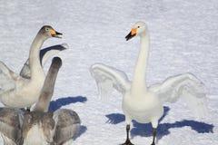 Campo e cigni di neve nell'inverno giapponese Immagini Stock