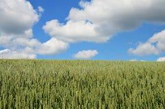 Campo e cloudscape verdes da cevada Imagens de Stock Royalty Free