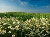 Campo e flores de trigo Imagem de Stock Royalty Free