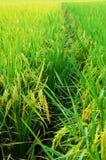 Campo e gotas do arroz imagens de stock royalty free