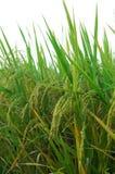 Campo e gotas do arroz imagem de stock