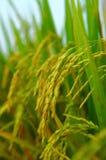 Campo e gotas do arroz imagem de stock royalty free
