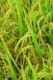 Campo e gotas do arroz imagens de stock