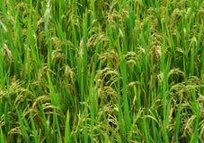 Campo e gotas do arroz foto de stock