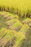Campo e gotas do arroz fotos de stock royalty free