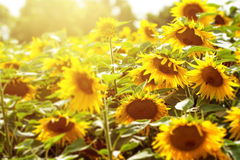 Campo e luz solar do girassol Fotografia de Stock Royalty Free