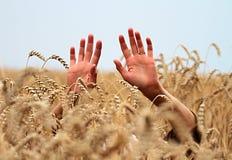 Campo e mãos de trigo Imagens de Stock Royalty Free