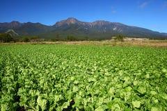 Campo e montagna di verdure fotografia stock