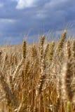 Campo e nubi di frumento Fotografia Stock