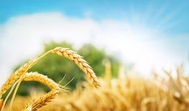 campo e sole di frumento Immagine Stock Libera da Diritti