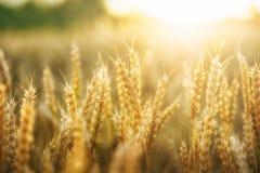campo e sole di frumento Fotografie Stock