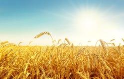 campo e sole di frumento immagini stock libere da diritti
