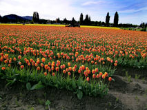 Campo e trator do Tulip Fotos de Stock