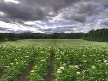 Campo ecológico da batata Imagem de Stock Royalty Free