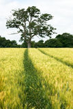 Campo ed albero di frumento Immagini Stock Libere da Diritti