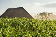 Campo ed essiccatore di tabacco nella valle Cuba di Vinales Immagine Stock