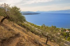 campo ed oceano di olivo fotografie stock