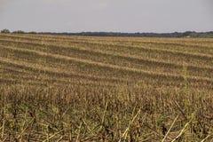 Campo en la caída, después de cosechar maíz imagen de archivo libre de regalías