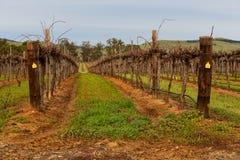 Campo enorme das videiras para o winemaking Imagens de Stock Royalty Free