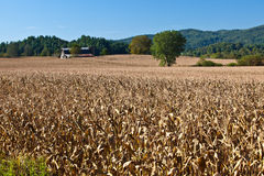 Campo enorme de hastes secadas do milho Imagem de Stock