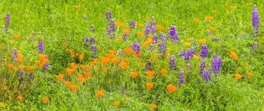 Campo enorme de los Wildflowers de California Imagen de archivo