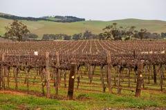 Campo enorme delle viti per vinificazione Fotografia Stock
