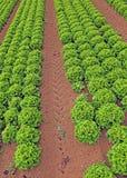 Campo enorme di agricoltura di lattuga verde Fotografia Stock Libera da Diritti