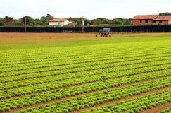 Campo enorme di agricoltura di lattuga verde Fotografie Stock Libere da Diritti